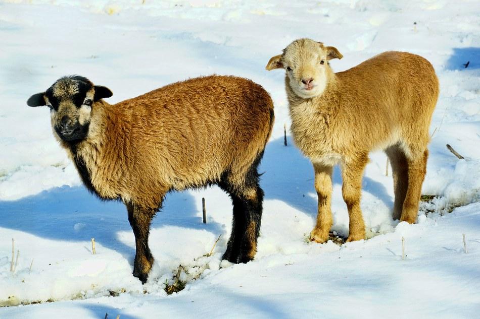 Mouton hiver