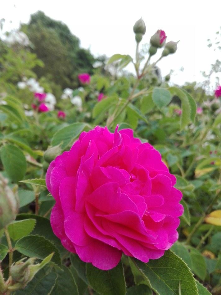 Biodiversité roseraie2